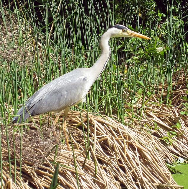 Grey Heron, Ardea cinerea, in The Knoll park, Hayes.  2 May 2011.