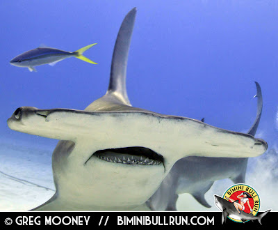 Bimini bahamas hammerhead diving epic sharkdiver for Shark tank fairy door