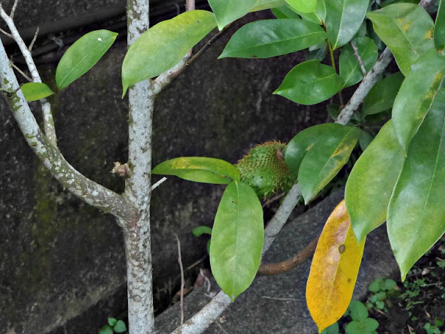 soursop-tree