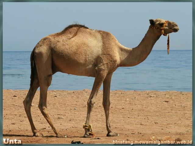 gambar binatang gurun pasir unta