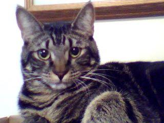 Sir Wallace, cat