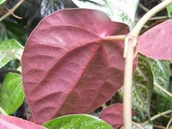 manfaat daun sirih merah untuk kesehatan