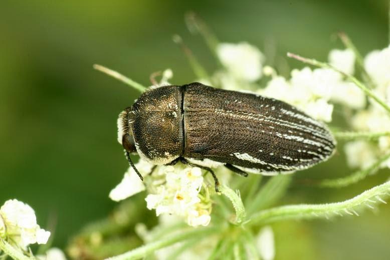 Acmaeoderella farinosa