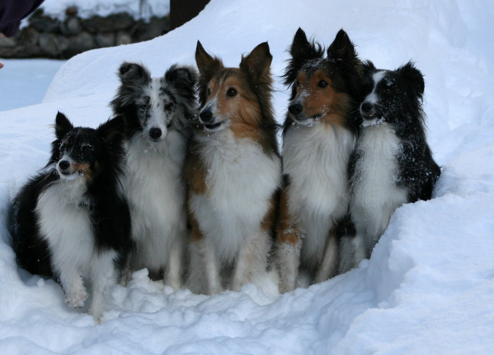 saved by dogs kinds of collies big or little something