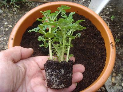 Passionnement plantes et potager plantation de germes - Arrosage pomme de terre ...