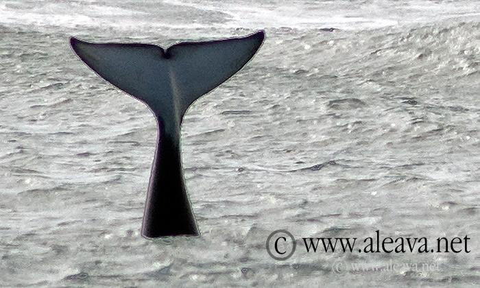 Orca whales season in Punta Norte