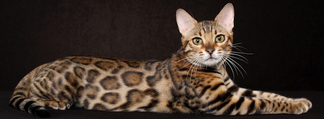 Bengal house cat personality
