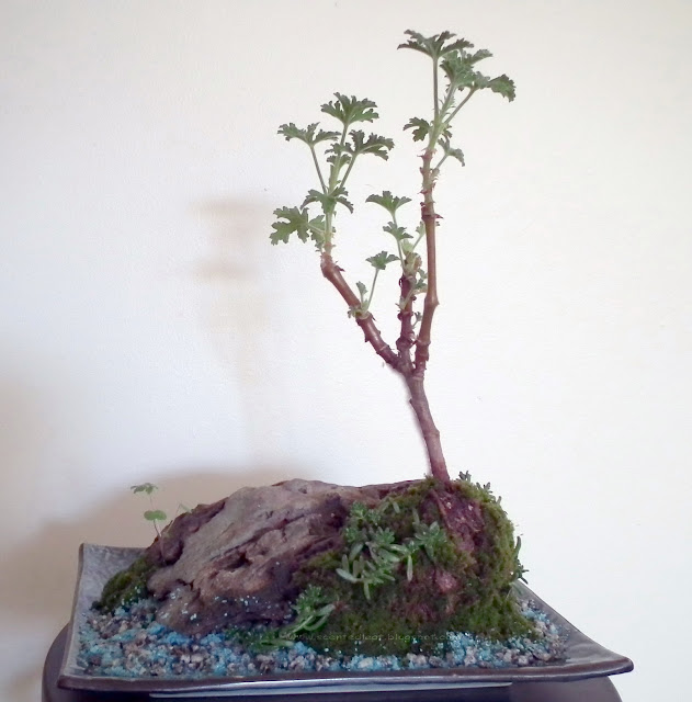 Mountain Seashore - miniature landscape with Attar of Roses / Pelargonium Capitatum