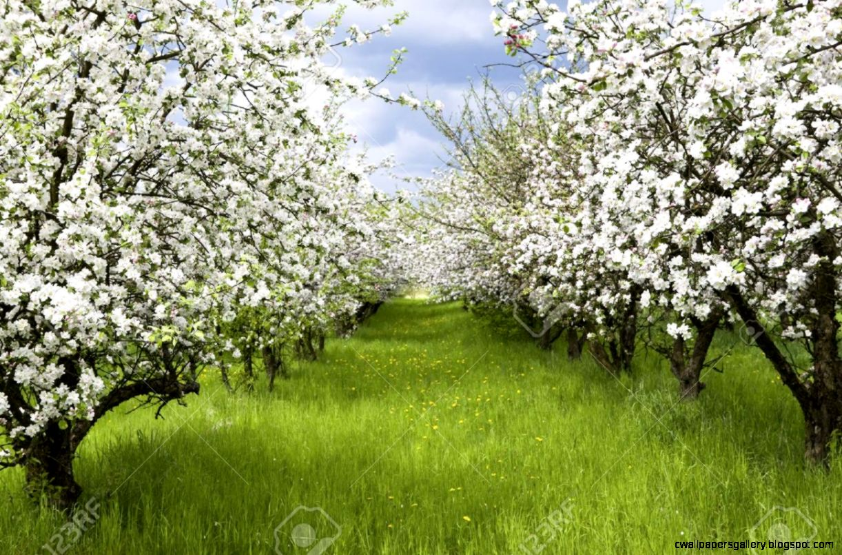 Apple Trees During Blooming Spring Orchard Shallow DOF Stock