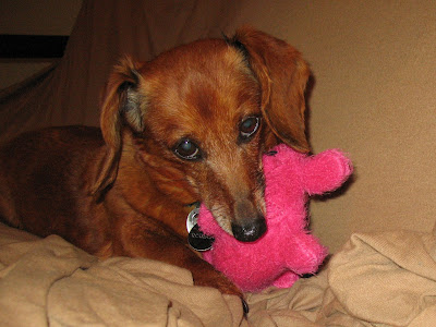dachshund and pink chew toy
