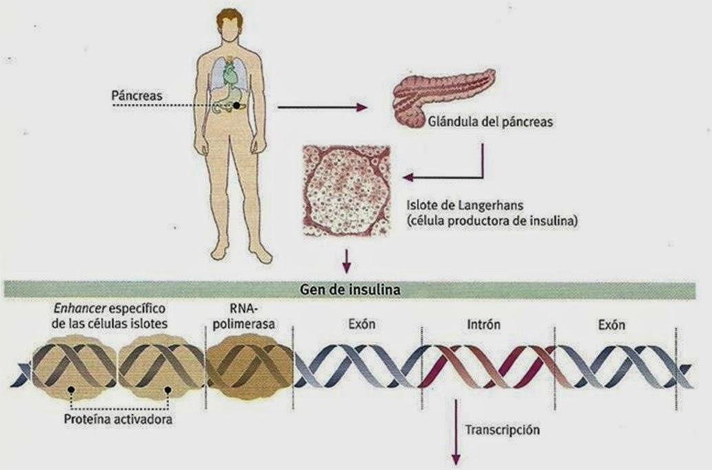 Primeras proteínas humanas obtenidas por ADN recombinante