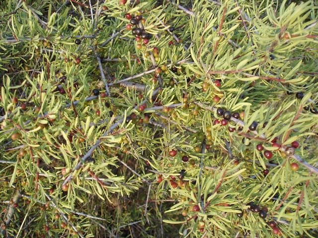 ESPINO NEGRO: Rhamnus lycioides