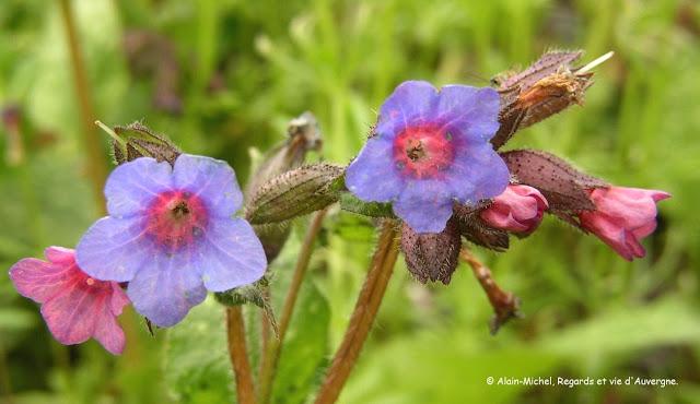 Photo de fleurs de Pulmonaire