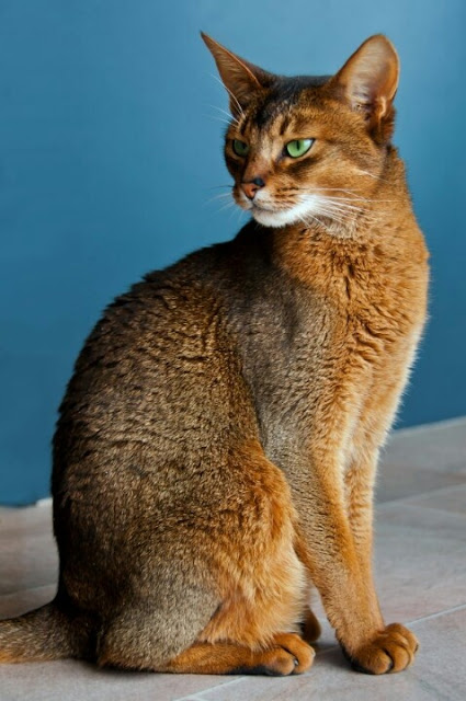 Size and Weight of Abyssinian Cats