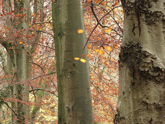 Looking up the trunks into the branches of beech trees in autumn.