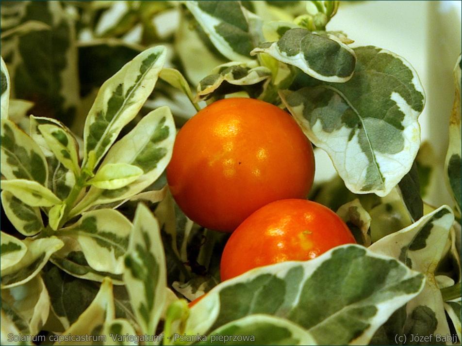 Solanum capsicastrum 'Variegatum' - Psianka pieprzowa, psianka paprykowa owoce