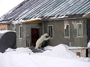 Imagenes Graciosas de Animales, Oso Polar