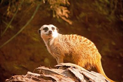 Animales en el bosque presenta a una hermosa suricata o meerkat