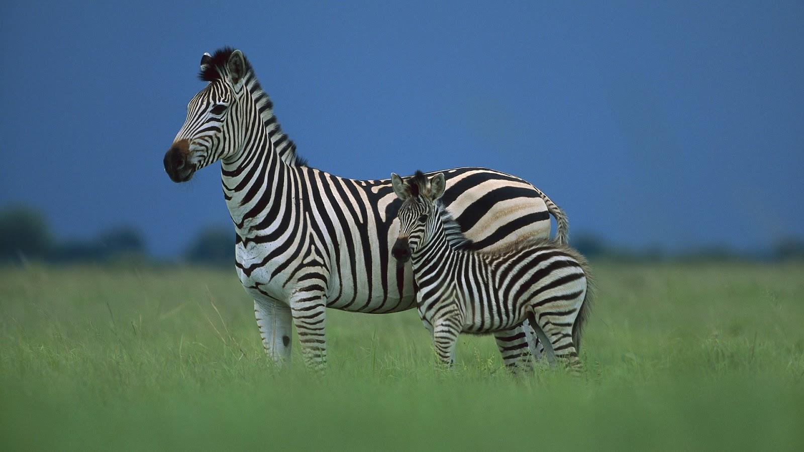http://3.bp.blogspot.com/-5MyO5w-D6_M/UDXFD1O4PLI/AAAAAAAAGvU/cKzMK535G3c/s1600/Zebra+hd+wallpapers.jpg