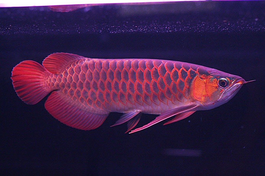 harga ikan arwana golden red