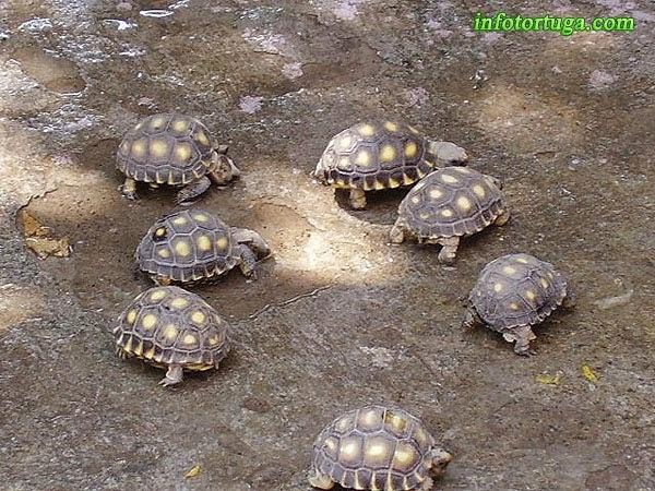 Crías de Gopherus berlandieri