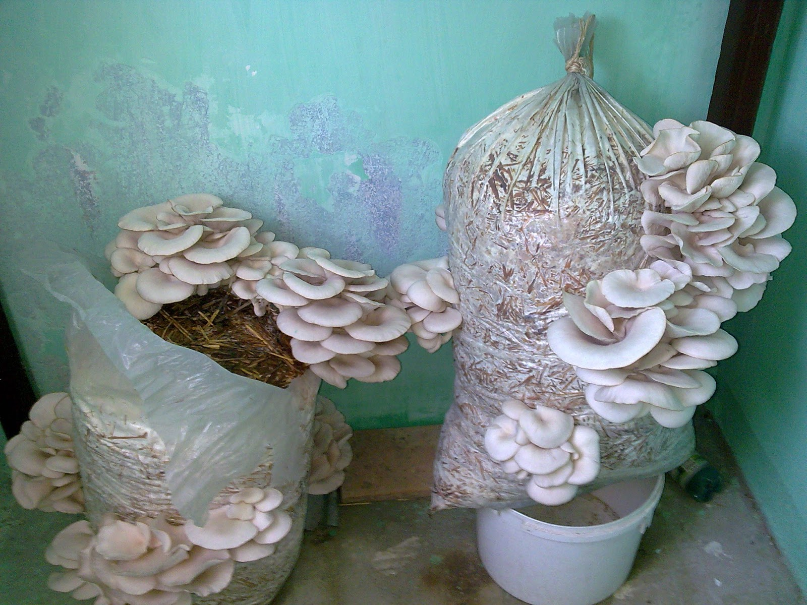 Выращивание грибов вешенок в домашних условиях: технологии 10