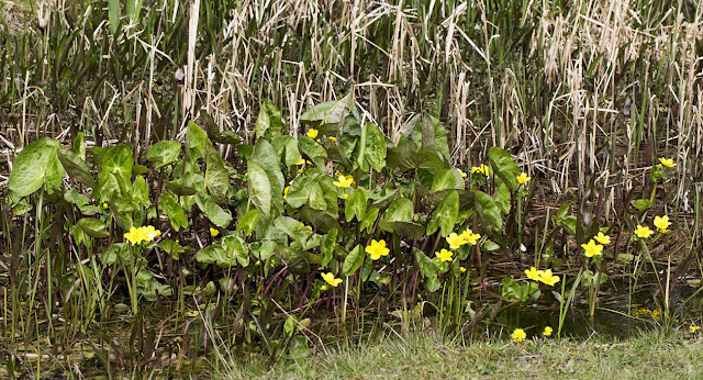 Marsh Marigold, Caltha palustris, in the pond in Spring Park, 24 April 2013.