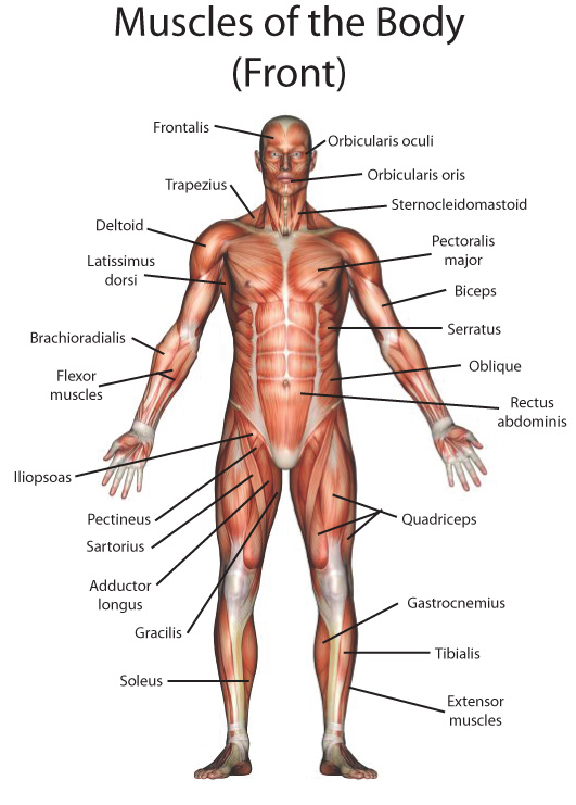 My English Pages Online: Human Anatomy - Anatomía Humana