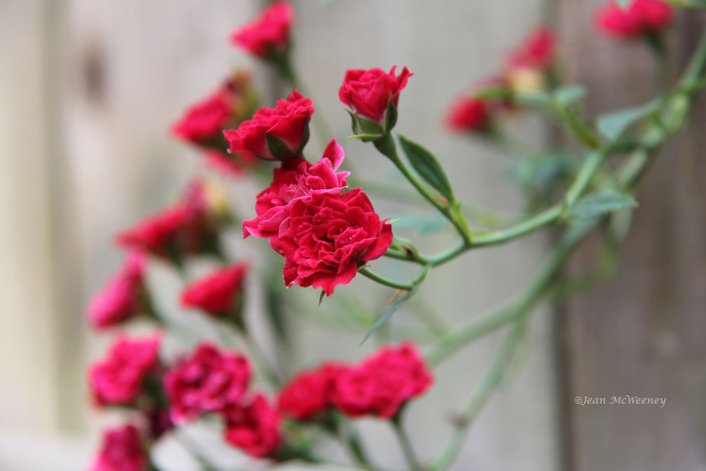 how to cut mini roses to encouragemore blooms