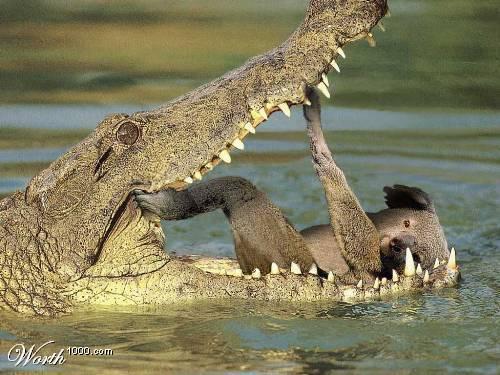 Saltwater Crocodile Attacks Human Solymone Blog Malaysian Scientists