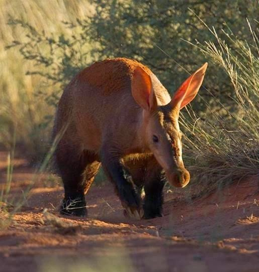 Aardvark takes a walk out in the sun