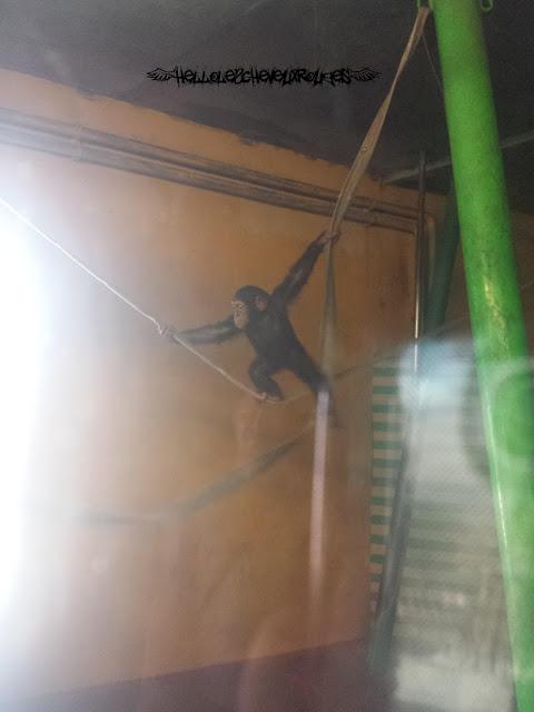 Bébé singe qui marche sur une corde à Touroparc