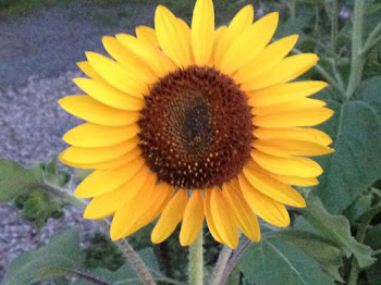 Sunflower Spotted Near Clayton