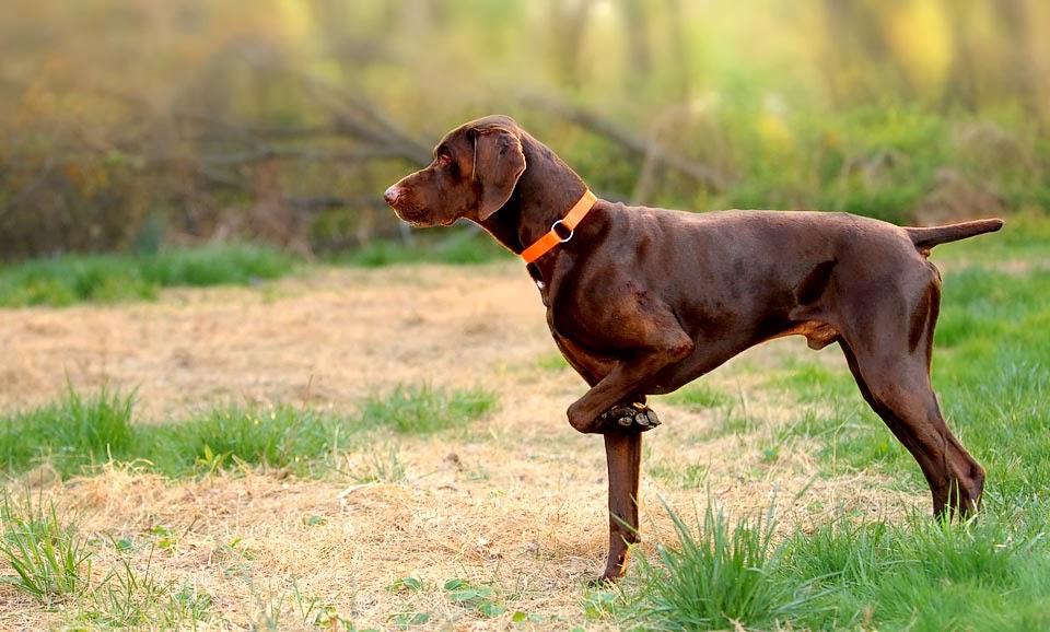 Perro de caza: cuidados y nombres para tu mascota. Braco alemán