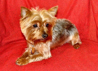 The Healthy Dog Yorkie Short Haircut