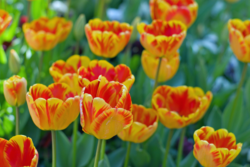 Yellow tulip flower meaning flowers for flower lovers red yellow tulips flowers mightylinksfo