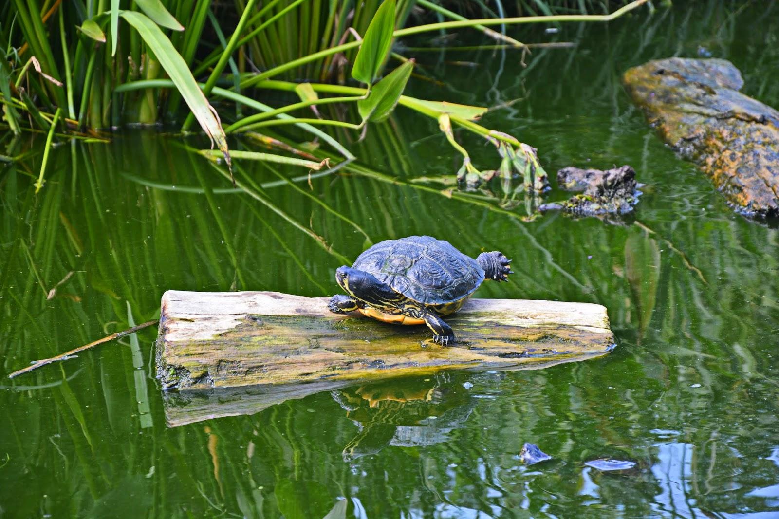 tortoise sunbathes