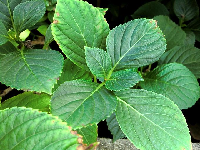 Ortensie Con Foglie Arricciate : Hortus italicus hydrangea macrophylla thunb ser