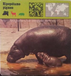 Blog Safari club, el Hipopótamo pigmeo, tiene hábitos más bien terrestres y escasea peligrosamente