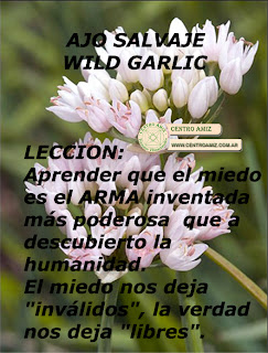 AJO SALVAJE - WILD GARLIC - Allium angulosum