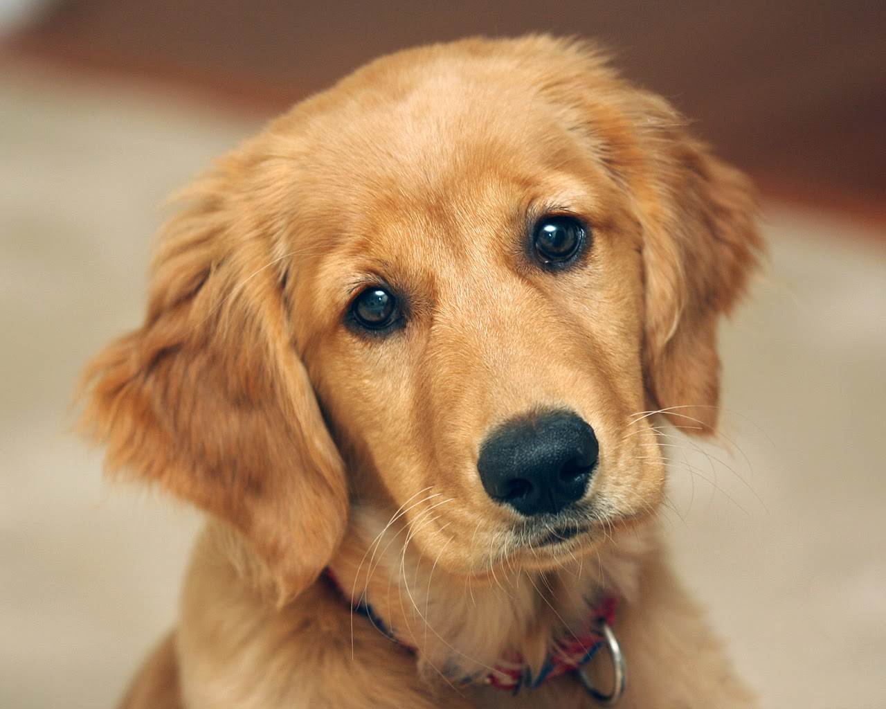 Rules of the Jungle: Golden retriever puppies