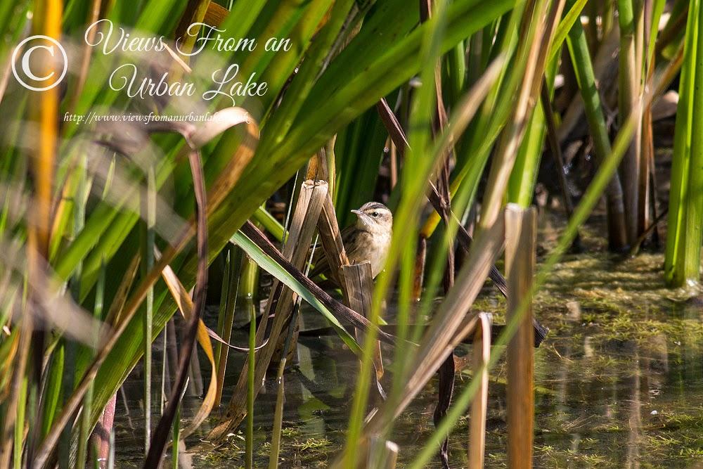 Sedge Warbler - Manor Farm, Milton Keynes