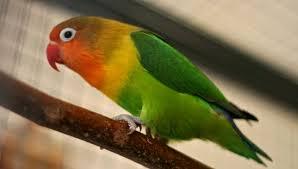 Perawatan Burung Lovebird Muda Agar Juara