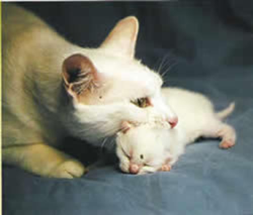 Pos Parto y primeros días de los gatitos recién nacido