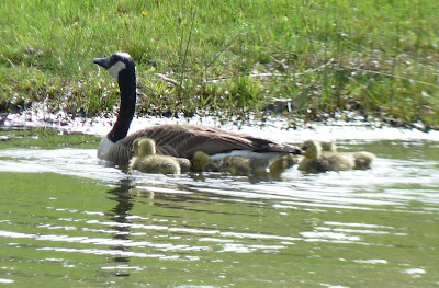 goose and goslings in water