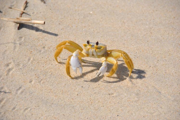 nc crab