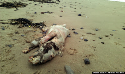 Monstruo de Tenby raro animal encontrado en una playa en inglaterra 2013