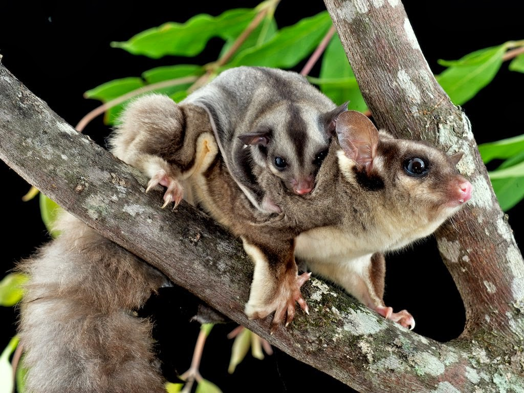 Lovely Cute Pets: SUGAR GLIDER