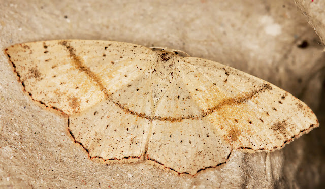 Maiden's Blush, Cyclophora punctaria.  Kelsey Park, 28 August 2015.