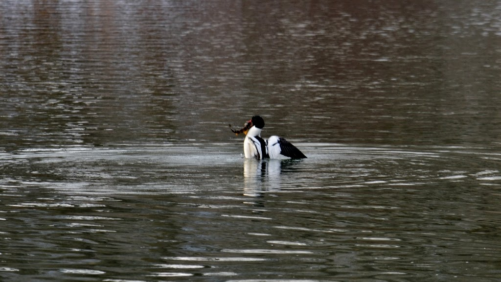 male Commomn Merganser with fish